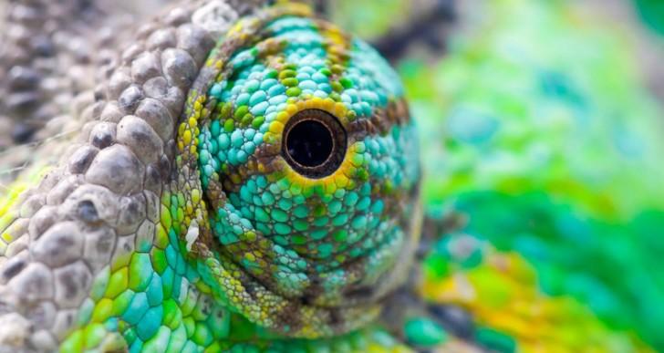 Chameleon's eye