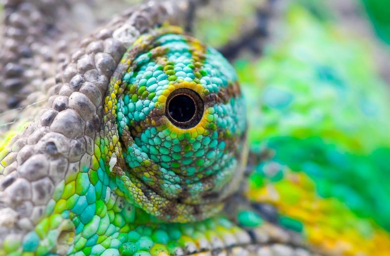 HQ Chameleon Eye