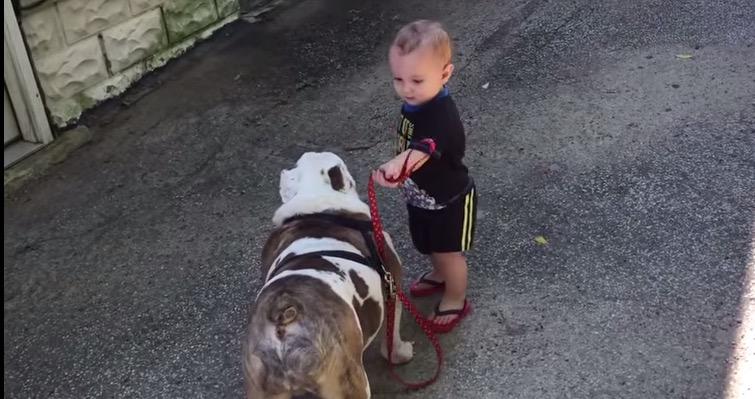 1 Year Old Tries to Walk an 80 Pound Bulldog (Video)