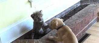 Cheetah Cub and Puppy Friendship (Video)