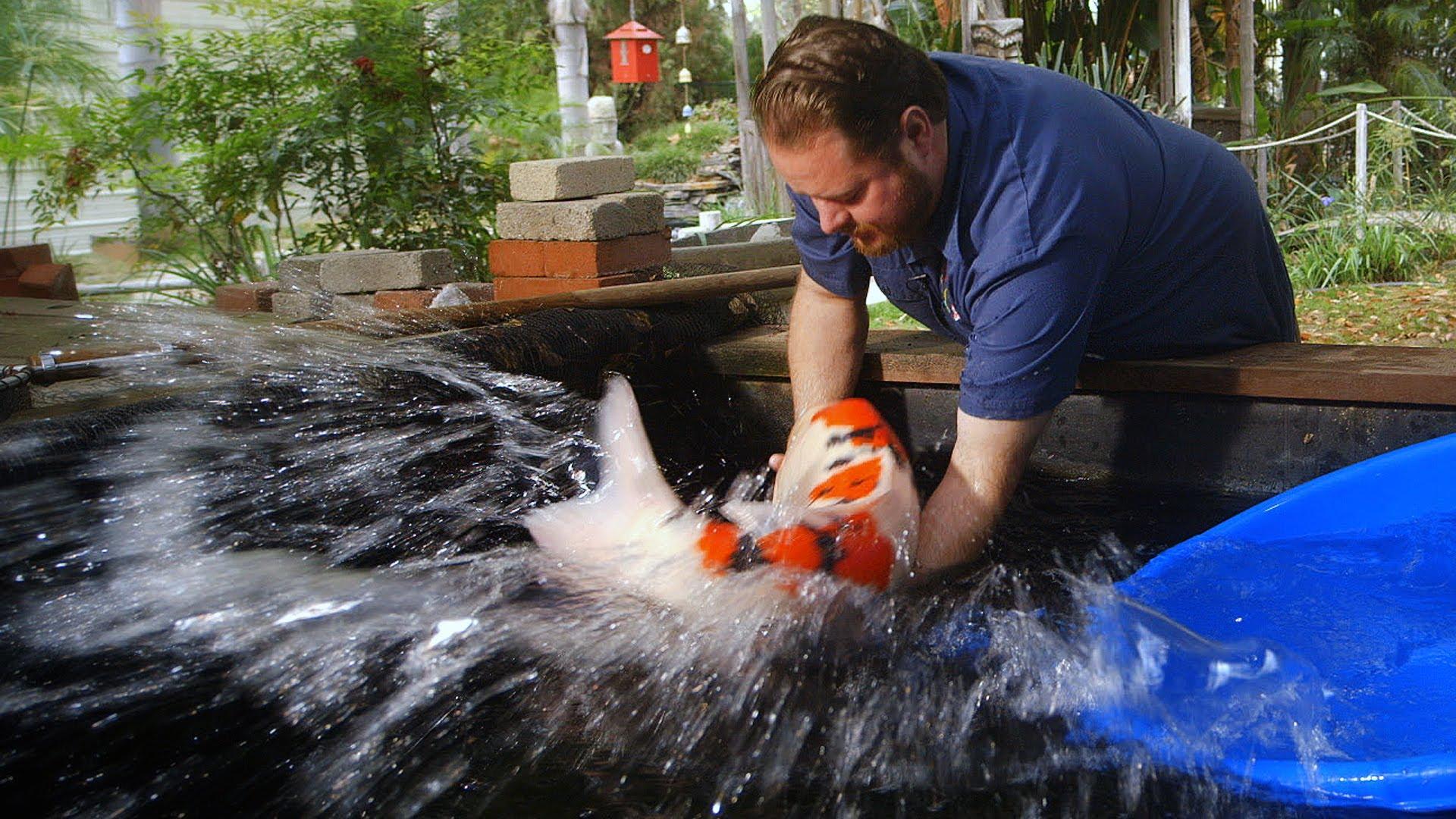 Gone Fishing: $60,000 Koi Fish (Video)