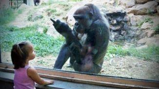 Gorillas Pranking Humans Straight Up (Video)